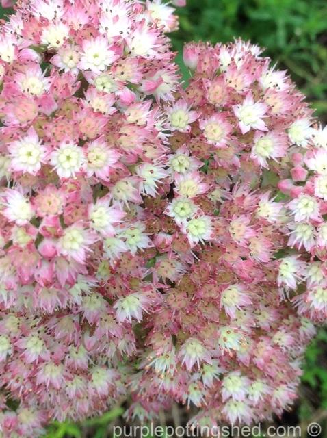 Sedum bloom.jpg