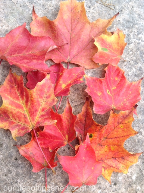 Maple leaves collected on walk.jpg