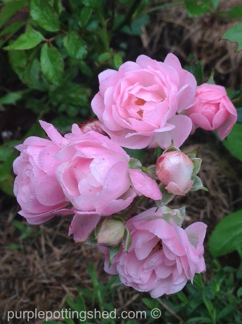 Roses in Oct, 2.jpg