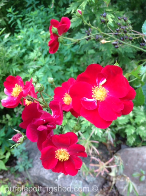 Roses in Oct, 1.jpg