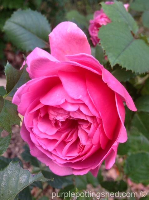 Roses in Oct, 6.jpg