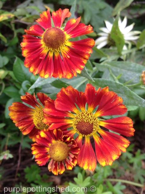 Helen's flower, helenium.jpg