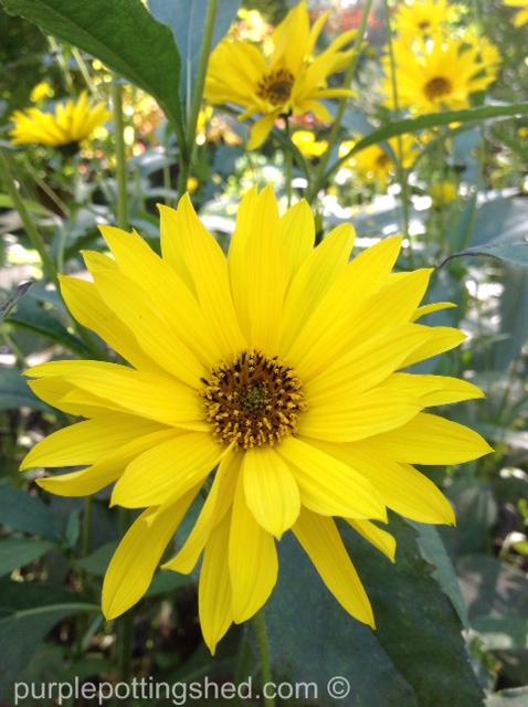 Perennial sunflower.jpg