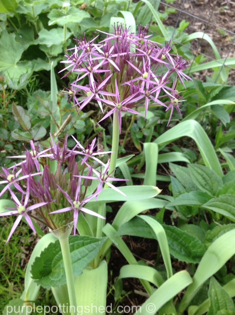 Allium, Star of Persia.jpg