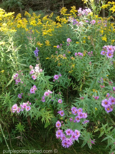 Asters and goldenrod.jpg