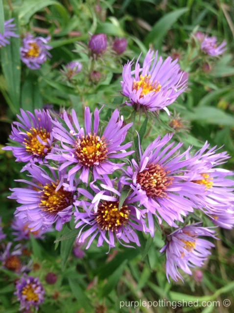 Asters in purple.jpg