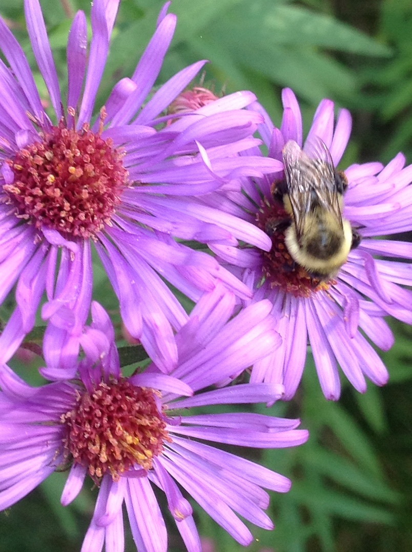 Asters with bee.jpg