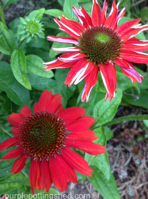 Coneflower, 'salsa red', up close.jpg
