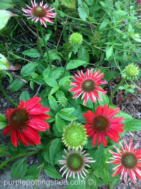 Coneflower, 'salsa red'.jpg