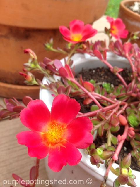 Purslane bloom.jpg