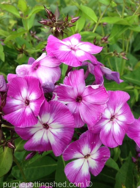 Garden phlox, bi colour.jpg
