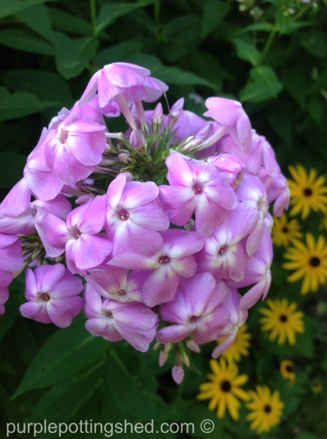 Garden phlox, mauve.jpg