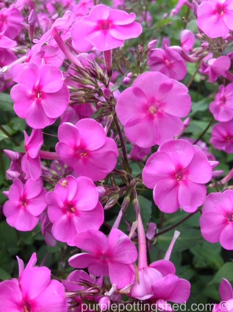 Garden phlox, pink.jpg