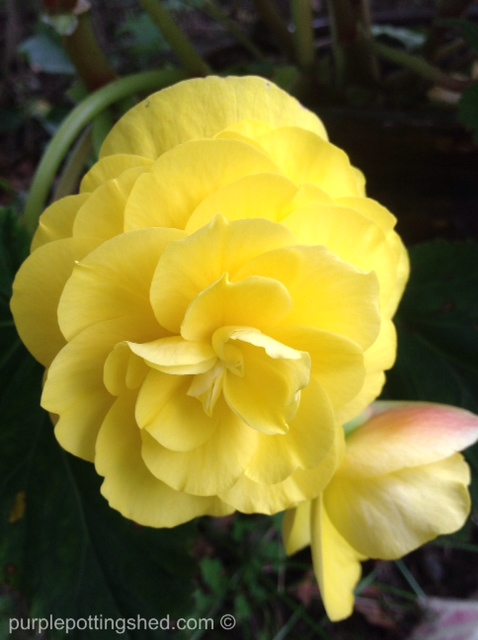 Begonia in yellow.jpg