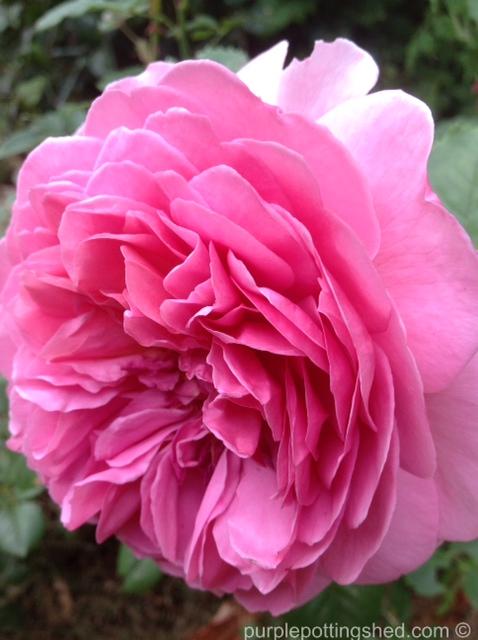 Rose, David Austin.jpg