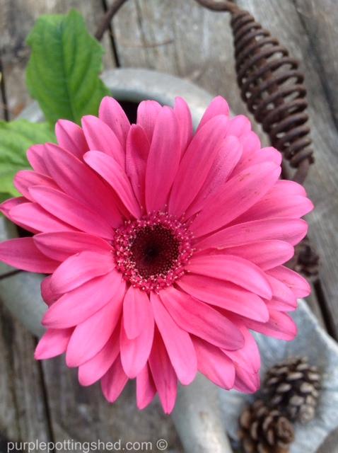 Gerbera daisy.jpg