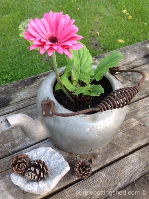 Gerbera daisy in old kettle.jpg