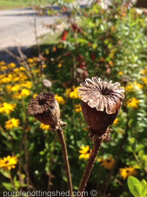 Oriental poppy seed head, dried.jpg