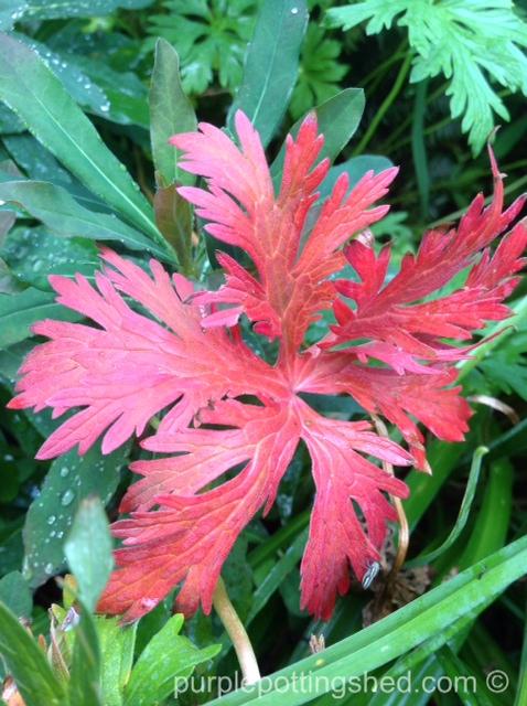 Hardy geranium leaf.jpg
