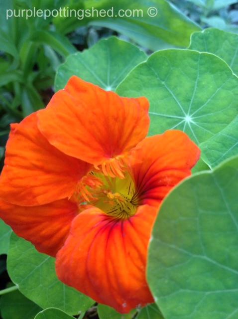 Nasturtium in orange.jpg