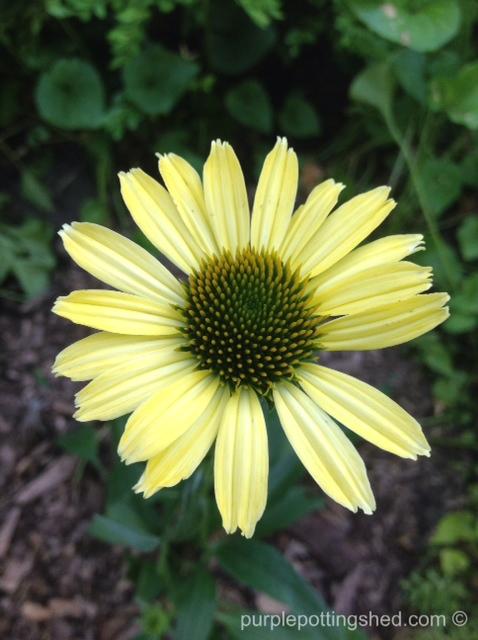 Cone flower, 'cleopatra', single bloom.jpg