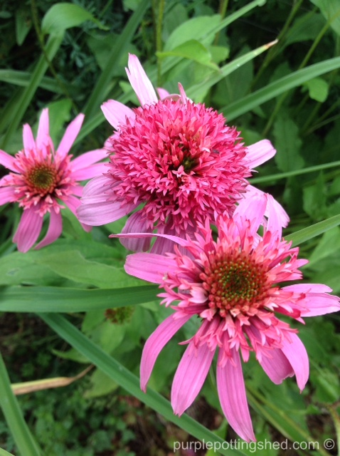 Cone flower, 'pink double delight'.jpg
