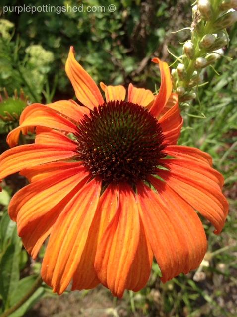 Cone flower, 'tangerine dream' in sun.jpg