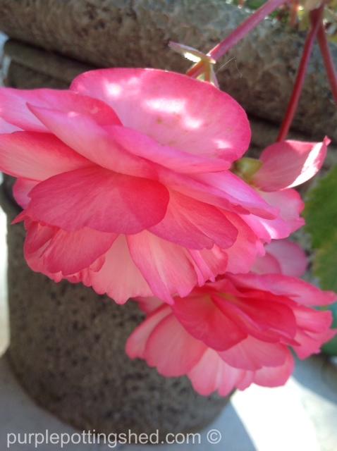 Begonia, pink & white.jpg