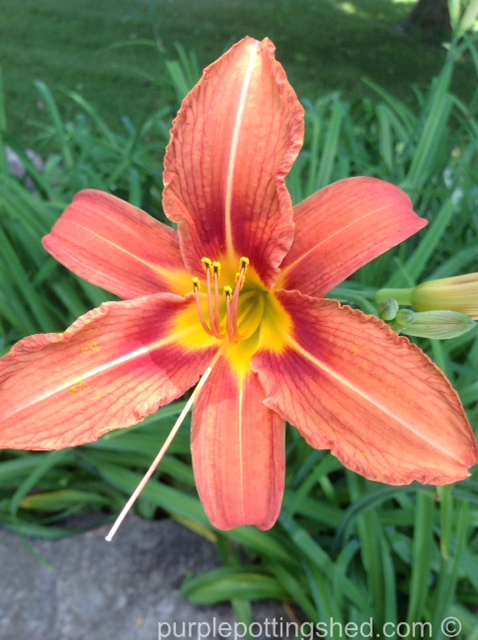 Lily, 'ditch lily'.jpg