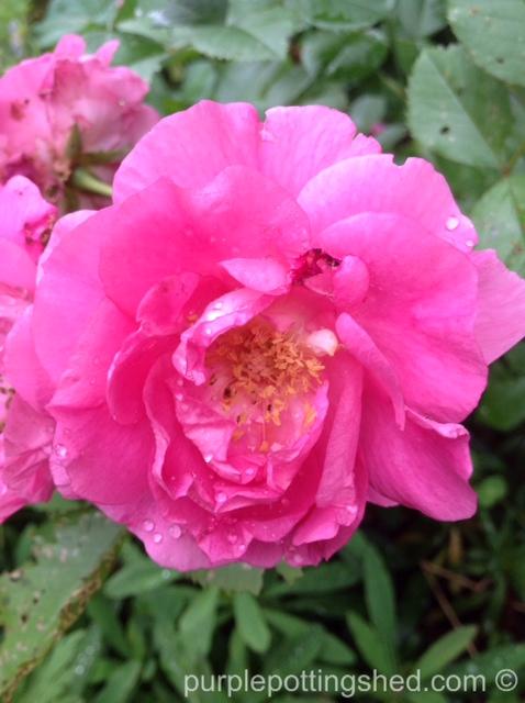 Shrub rose in pink.jpg