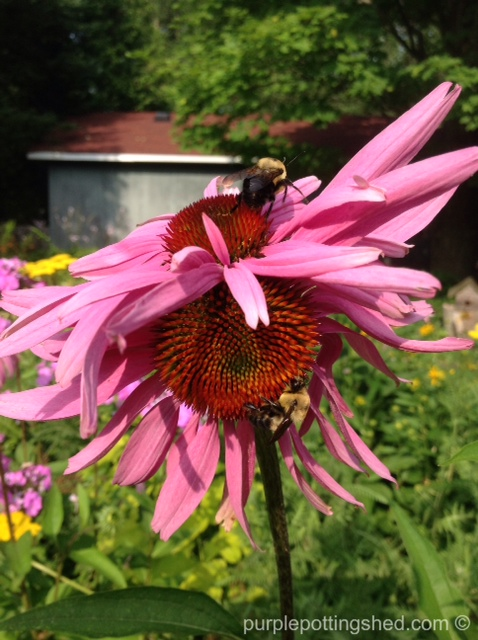 Cone flower, double bloom with two bees.jpg