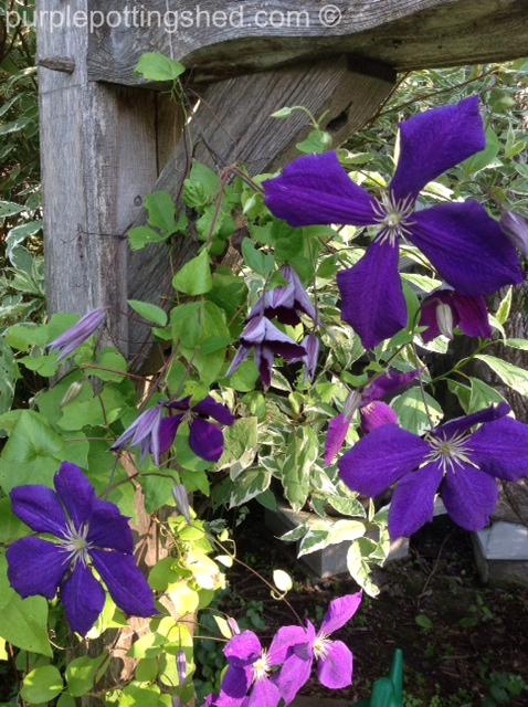 Clematis, jackmanii, new blooms opening and blooms.jpg