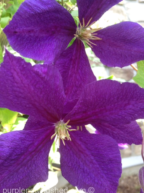Clematis, jackmanii, violet in the sun.jpg