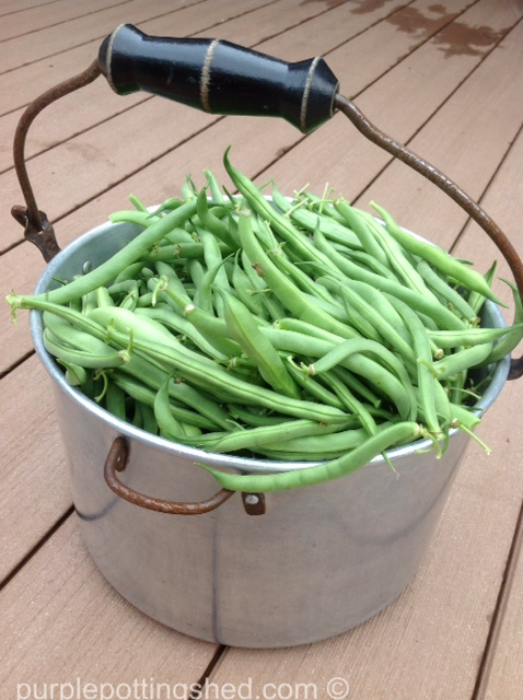 Green beans in a pot.jpg