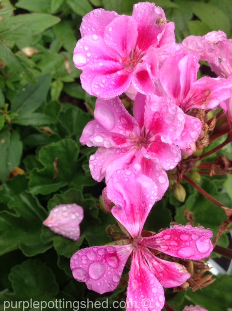 Geranium after rain.jpg