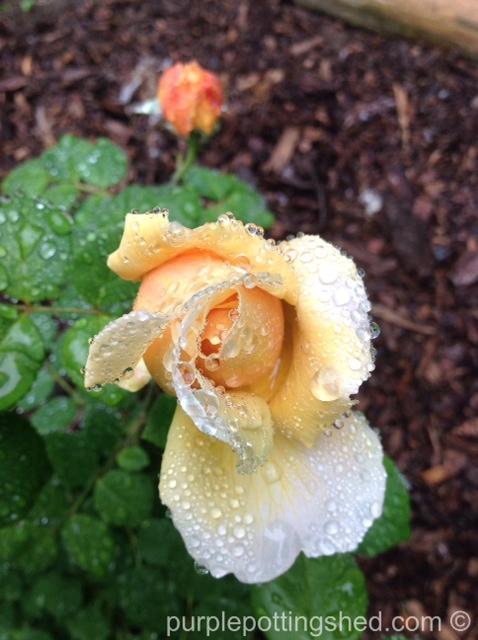 Rose after rain.jpg