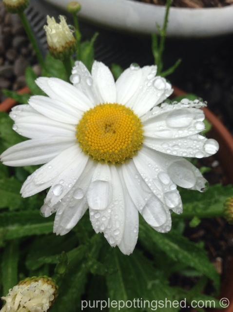 Shasta daisy after rain.jpg