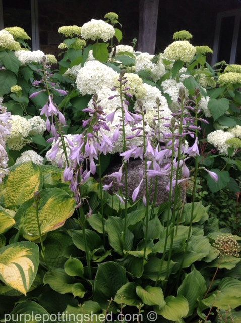 Hostas blooming against hydrangea.jpg