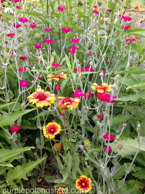 Blanket flower and rose campion.jpg