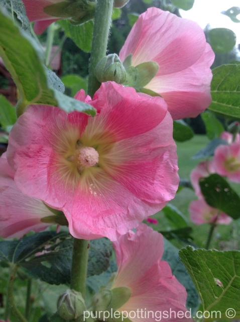Hollyhock, pink cluster.jpg