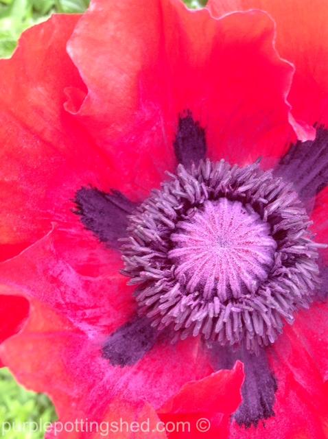 Oriental poppy close.jpg