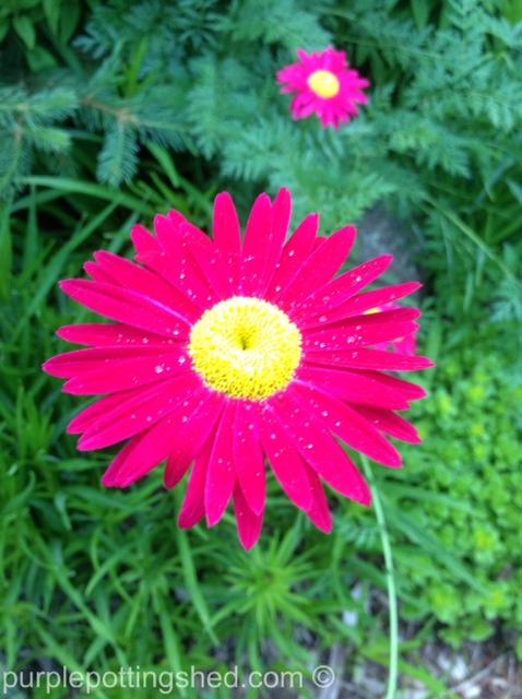 Painted daisy.jpg