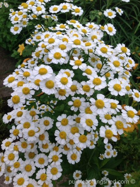 Feverfew in bloom.jpg