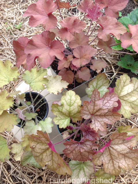 Coral bells from greenhouse.jpg