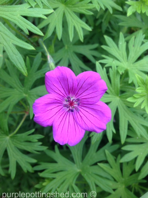 Hardy geranium 3.jpg