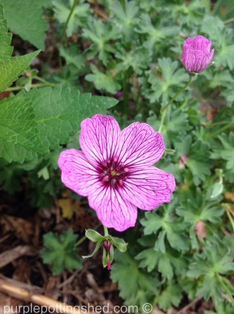 Hardy geranium 4.jpg
