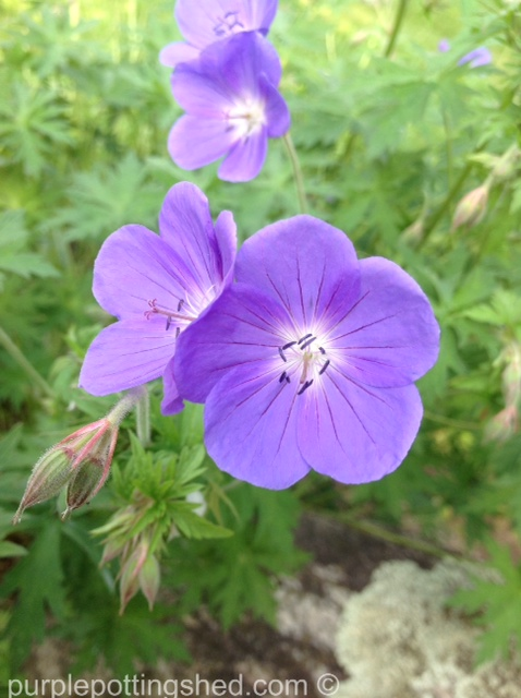 Hardy geranium 7.jpg