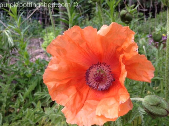 Oriental poppy 2.jpg