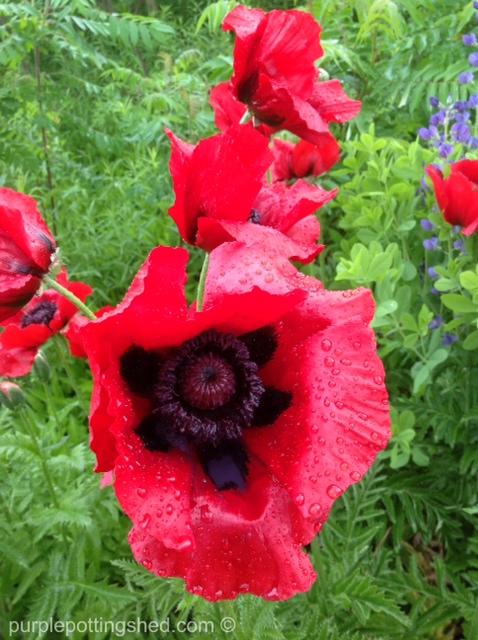 Oriental poppy 4.jpg