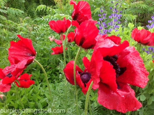 Oriental poppy 3.jpg